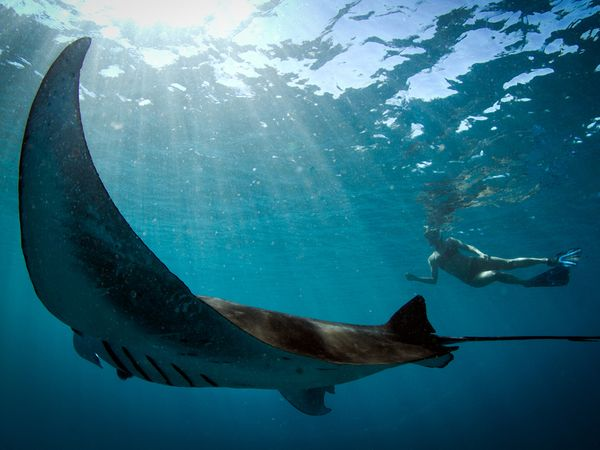 Giant manta ray in Ningaloo Reef, off Australia's west coast. - Violeta Jahnel