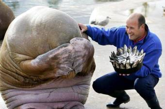 Great picture of a Walrus's reaction after being presented with a fish cake for his birthday
