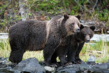 Grizzly pair