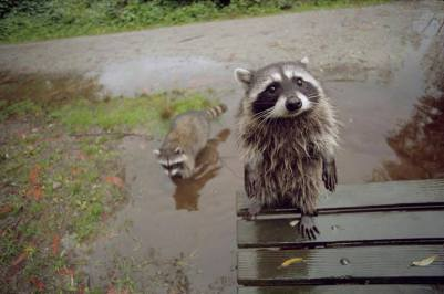 Hi, can we play in your puddles