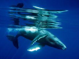 humpback-whale-calf-underwater_22660_990x742