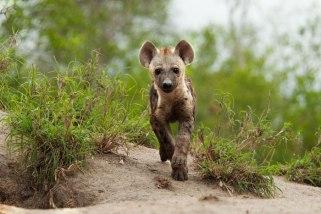 Hyena-cub-runs-towards-us