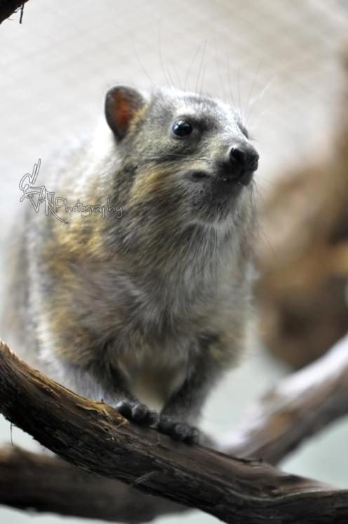 Hyrax (related to the elephant)