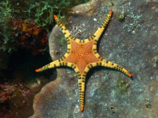 Iconaster longimanus starfish from the Philippines.