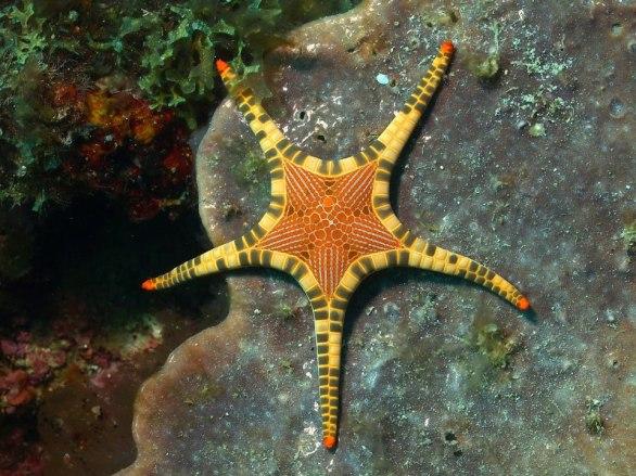Iconaster longimanus starfish from the Philippines.