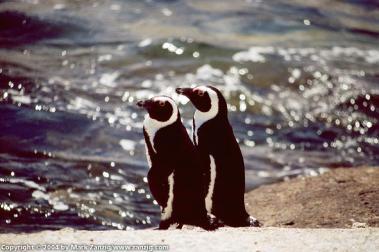 image05a Penguins at Boulders Beach