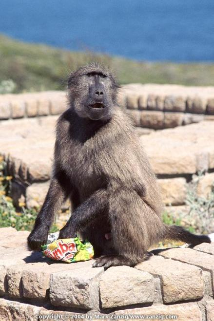 image79a Baboon at Cape Point