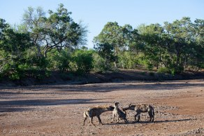 In a dry river bed Mashatu - Isak Pretorious Wildlife Photography
