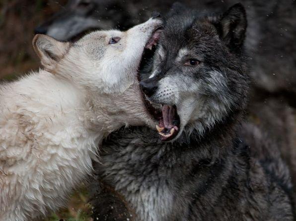 juvenile-alpha-wolves_56396_990x742