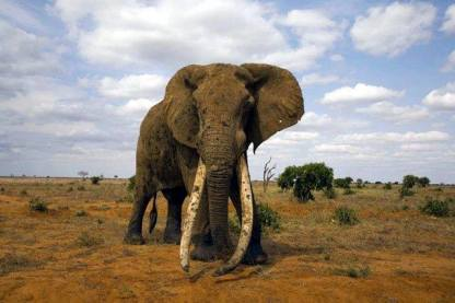 King of the Tuskers