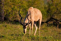 Kudu-bull - 5Oct12 Londolozi