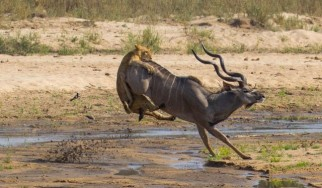 Kudu bull attacked by lion