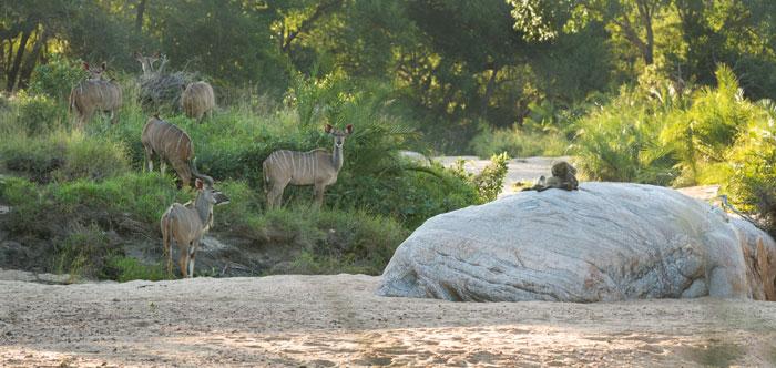 Kudu on a perfect afternoon - Londolozi