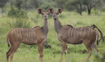 Kudu pair