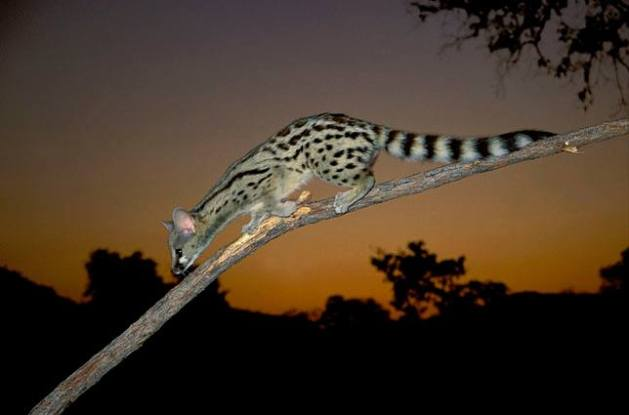 Large-spotted Genet (Genetta tigrina), Nocturnal species - Kruger NP, South Africa. © Nigel Dennis
