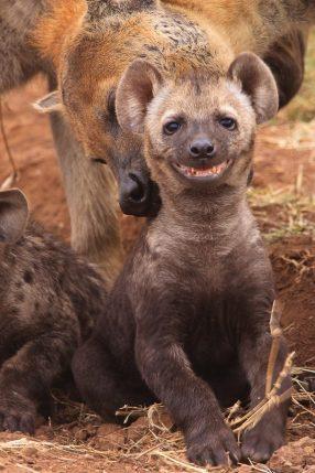 Laughing Hyena
