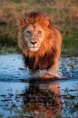 lion-king-patrolling-the-swamps-at-duba-plains-camp-by-dana-allen-photosafari