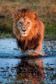 lion-king-patrolling-the-swamps-at-duba-plains-camp-by-dana-allen-photosafari