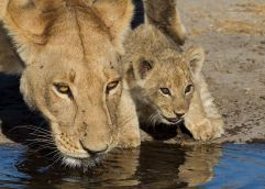 lioness-at-cub-at-a-watering-hole-in-savute-botswana-by-hendri-venter-digitalwild