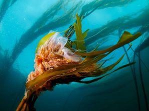 lions-mane-jellyfish-kelp_22663_990x742
