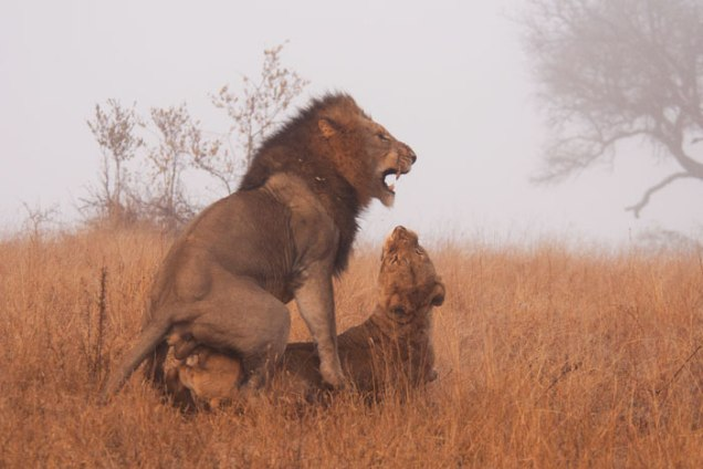 Lions-mating-mist