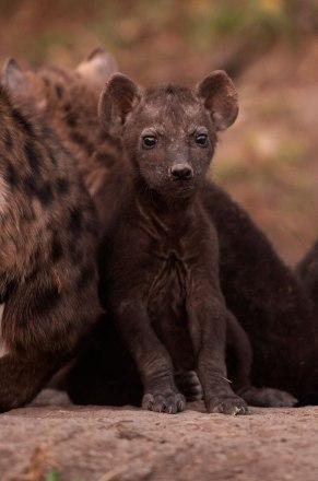 Littlest-hyena -- 30Sept12 Londolozi