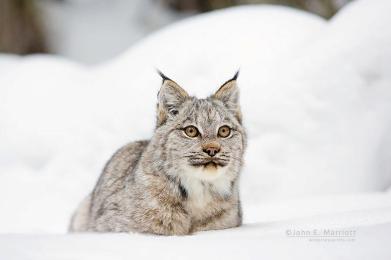 Lynx in the snow