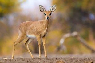 Mashatu Botswana - Isak Pretorius Wildlife Photography