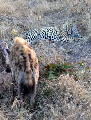 Maxabene-with-hyena