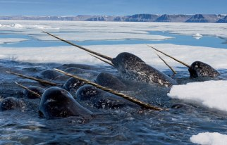 Narwhals - Photograph by Paul Nicklen