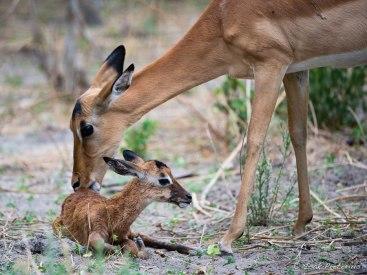 New born at Chiefs Camp Okavango - Isak Pretorious Wildlife Photography