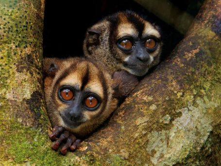 noisy-night-monkeys-laman
