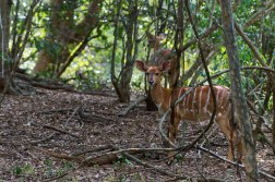 Nyala in the forest