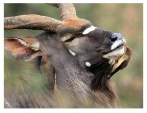 Nyala with Oxpeckers by Peter Hall