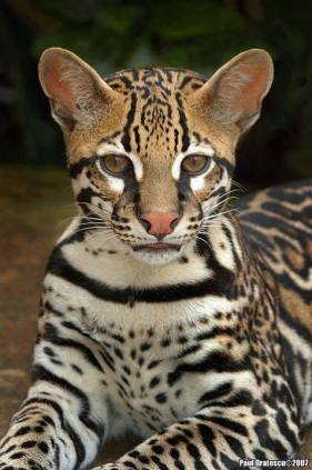ocelot-beauty-2