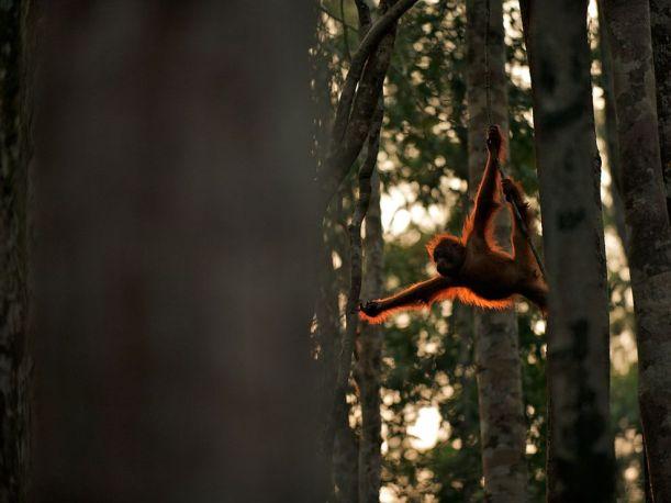 orangutan-swing-borneo