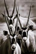 Oryx - Hartmann Valley, Border Namibia and Angola - Photo by Dana Allen Photography