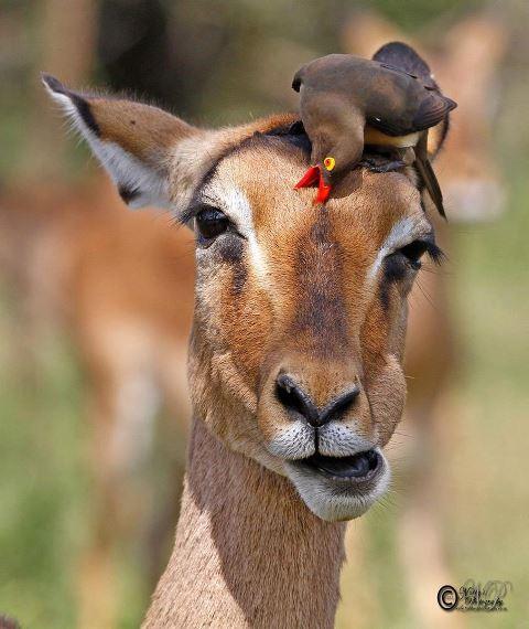 Oxpecker and Impala by www.nobbysphotography.co.za