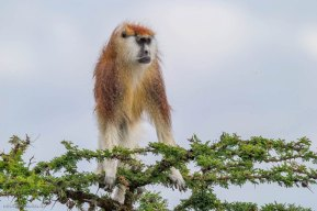 Pata Monkey (endangered), Segera Ranch, Kenya Michael Poliza Photographer