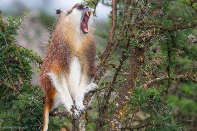 Patas Monkey 2 (endangered), Segera Ranch, Kenya Michael Poliza Photographer