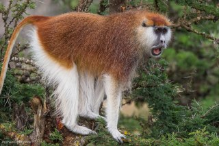 Patas Monkey 3 (endangered), Segera Ranch, Kenya Michael Poliza Photographer