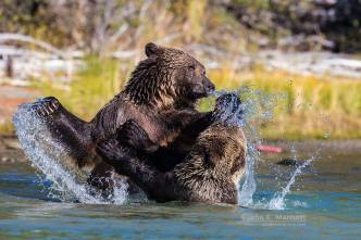 Playfighting Grizzlies