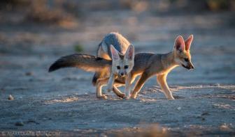 Playful Cape Fox Pups - Kgalagadi Transfrontier Park, South Africa