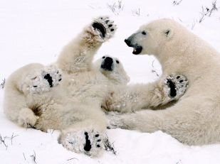 polar-bear-cubs-playing-082809_3641_990x742