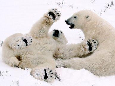 polar-bear-cubs-playing-082809_3641_990x742