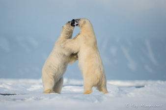 Polar bear dancing. Copyright © Roy Mangersnes.