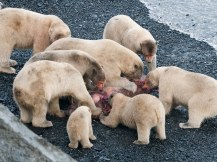 Polar Bear Feast on Wrangle Is. by Sergey Gorshkov