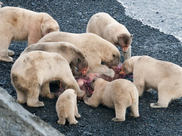 Polar Bear Feast on Wrangle Is. by Sergey Gorshkov