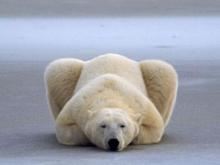 polar-bear-rest_Canada