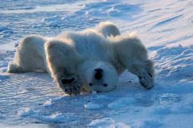Polar-Bear-Stretch-by-Dennis-Minty